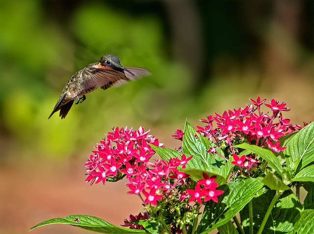 9030569 DxOdcL · Hummingbird