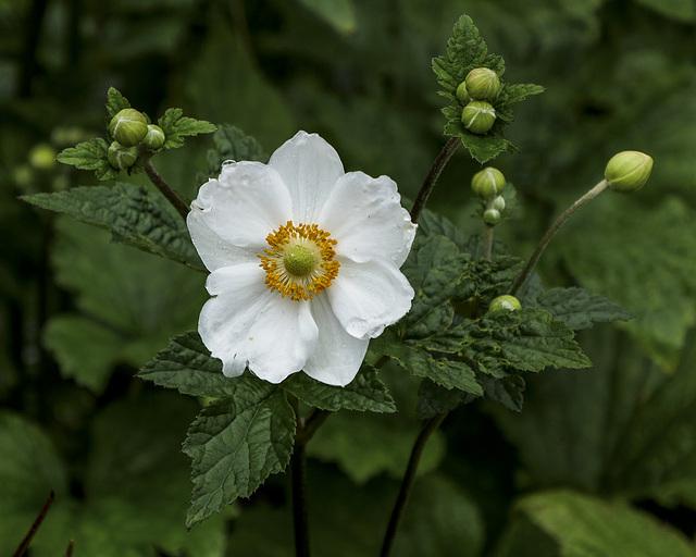 Anemone Japonica Honorine Jobert