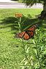Monarch Season