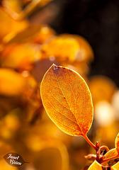30/366: Glowing Manzanita Leaf