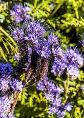 Wild Blue Tansy - Phacelia Tanacet Folia