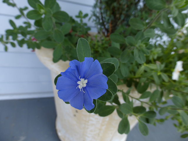 blaublütig