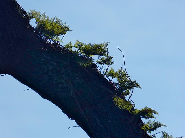 Sky ferns