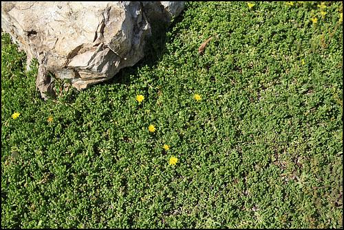 Delosperma nubigenum (2)