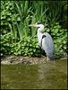 heron at home