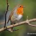 Eurasian Robin 001