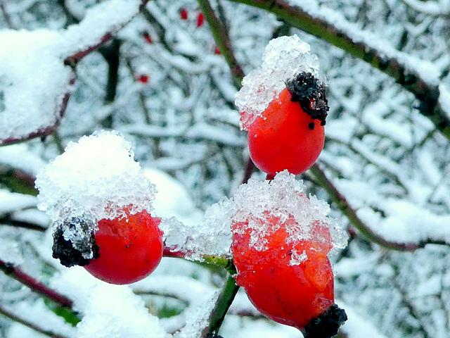 Hagebutten und erster Schnee
