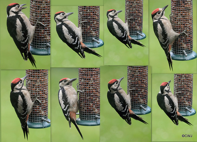 Early morning protein fix for the woodpecker family