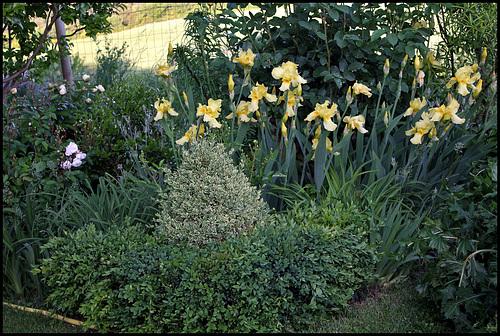 Massif avec iris