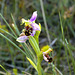 Bee Orchid at Thornham