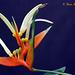 Heliconia (False Bird of Paradise) Explore  095 copy