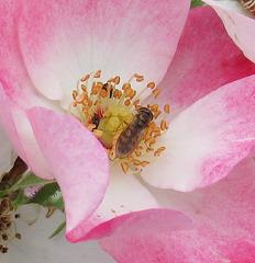 Au creux de la rose / In the heart of the rose
