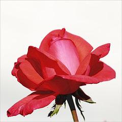Pour les fans de rose...