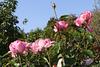 Des roses pour tous les amis d'Ipernity