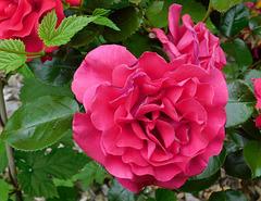 Rose rouge pour vous !