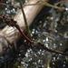 20140911 5172VRAw [NL] Libelle, Terschelling