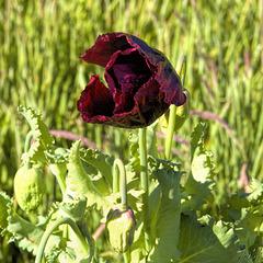Opium Poppy - 4