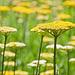 Gelbes Blütenmeer - Sea of yellow Flowers (PiPs)