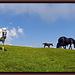 Noriker Pferde