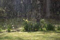 Deluge of Daffodils
