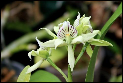 Encyclia fragans (3)