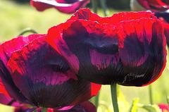 opium poppy 1