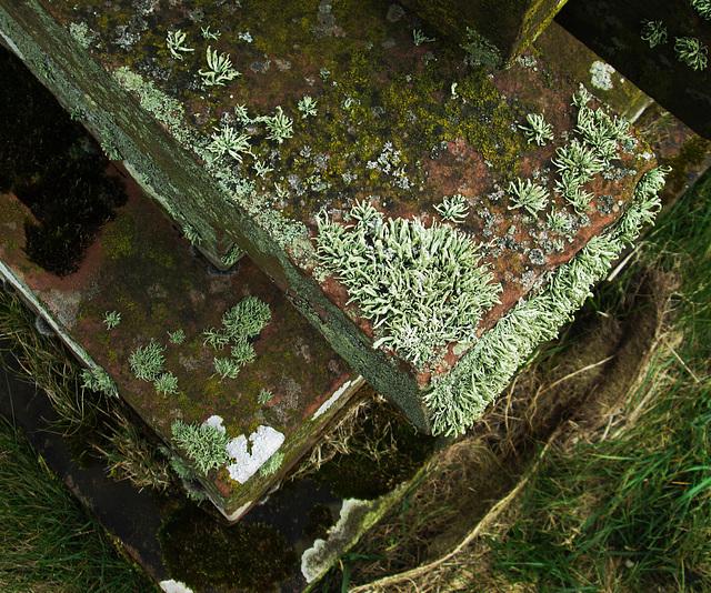 Moss, lichen - Christ Church, Allonby.