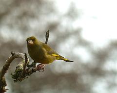Verdier d'Europe  (Chloris chloris) (European Greenfinch)