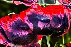 opium poppy 2