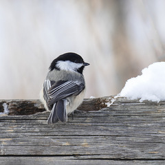 The ever-present Black-capped Chickadee