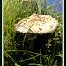 Thriving field mushroom,