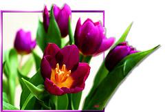 Tulpen aus dem Rahmen fallend.  ©UdoSm