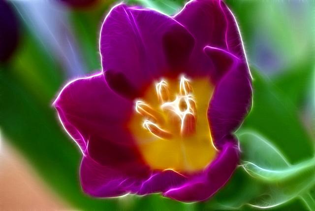 Tulpe. ©UdoSm