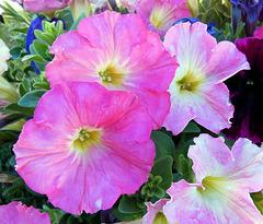 Pétunias roses / pink petunias