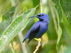 Purple Honeycreeper male, Trinidad