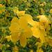 Corêtes du Japon - Kerria japonica