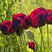 Opium Poppy-3