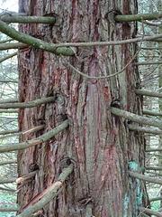 ein Mammutbaum im WeltWald bei Bad Grund