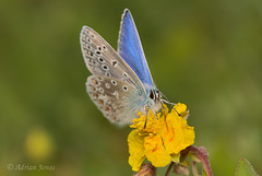Common Blue (Polyommatus icarus).
