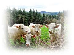 Encore des vaches? Oui mais.... HFF !