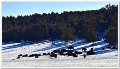 Buffalos in the Wild