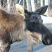 Moose Looking in our window