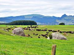 Dairy Herd.