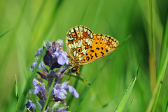 small pearl bordered on bugle