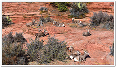 """Those aren't RAMs -- they are """"Desert Bighorn Sheeps"""""""