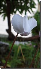 Cyclamen neapolitanum blanc.