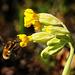 Ein ungewöhnlicher Blütenbesucher - An unusual blossom visitor