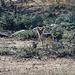 Namibia, Erindi Game Reserve, Small Jackal in Savannah