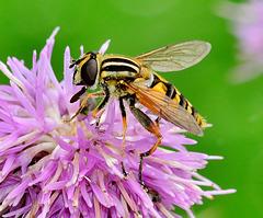 Hoverfly. Helophilus pendulus