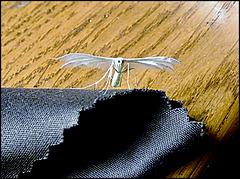 Ptérophore blanc (clic sur photo) [ON EXPLORE]